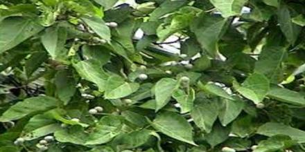 Antinociceptive Activities of Different Extracts of Trewia Polycarpa Leaves