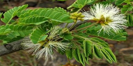 Phytochemical and Biological Evaluation of Albizia Richadiana