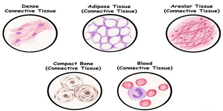 About Connective Tissue Msrblog